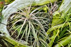 Air plants with driftwood stock photo