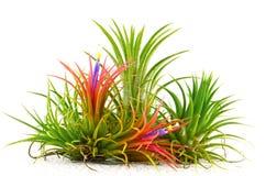 The Air Plants. Stock Photos