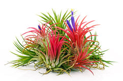 The Air Plants. Royalty Free Stock Photo