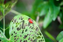Air Potato Leaf Beetle Stock Photography