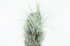 Air root plant, Tillandsia Karwinskiana, on white background Stock Images