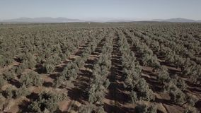 Air view field of olive trees near Jaen
