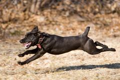 Airborn. Running Patterdale terrier Royalty Free Stock Image