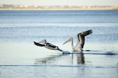 Airborne. Pelicans taking off, Victor Harbor, South Australia Stock Photo