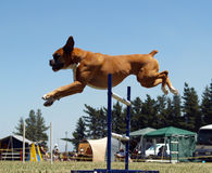 Airborne Boxer Royalty Free Stock Photos