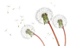 Airborne dandelion seeds flying in the wind, isolated on a white background. Group of dry dandelion flower heads releasing their many seeds into the wind to find Royalty Free Stock Image
