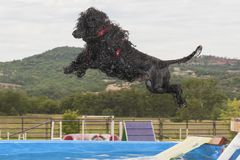 Dock Diving Portuguese Water Dog royalty free stock images