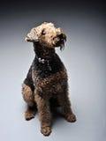 Airdale Terrier está olhando acima no estúdio cinzento Imagem de Stock