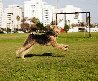 Airdale Terrier Dog Running at the Park. An Airdale Terrier female dog running on the grass at the park on a sunny day Royalty Free Stock Photos