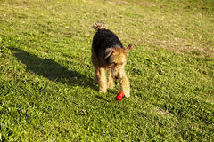 Airdale Terrier hundspring med tuggningleksaken på parkera Royaltyfri Bild