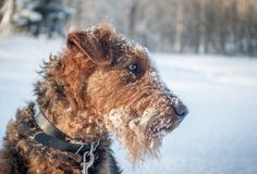 Airdale Terrier i snön royaltyfria bilder