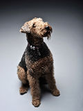 Airdale Terrier is looking up in the grey studio. Airdale Terrier is looking up in the studio Stock Image