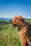 Airdale Terrier na vigia Fotografia de Stock