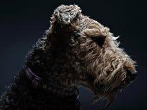 Airdale Terrier portrait in dark studio. Airdale Portrait in studio with dark background Royalty Free Stock Image