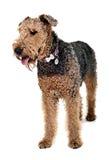 Airdale Terrier que fica no o estúdio branco Fotos de Stock