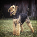 Airdale terrier Stock Photos