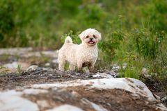 Aire libre de Bichon Shih Tzu Mix Dog Portrait en verano imagenes de archivo