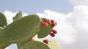 Aire libre de la fruta del cactus del higo en el sol almacen de metraje de vídeo