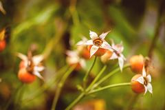 Aire libre de la planta de Dogrose imagenes de archivo