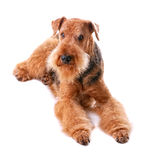Airedale Fotos de Stock Royalty Free