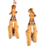 Airedale Stock Images