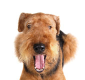 Airedale Images stock