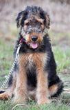 Airedale adorable Terrier retrato del perrito de 10 semanas fotos de archivo libres de regalías
