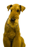 Airedale. Airedale Terrier dog. Portrait of purebred dog Irish T Stock Images