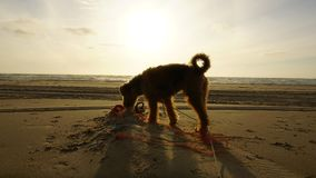 Terrier in sunset at the beach stock image