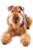 Airedale del perro fotos de archivo