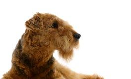 Airedale del perro que mira para arriba imagen de archivo libre de regalías