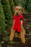 Airedale in den Weihnachtsbäumen lizenzfreies stockbild