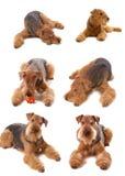 Airedale do cão Foto de Stock Royalty Free