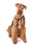 Airedale do cão Imagem de Stock