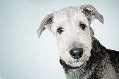 Airedale Dog Royalty Free Stock Photo