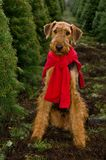 Airedale dog Christmas trees. An airedale terrier waring a bright red scarf posing in a field of Christmas Trees royalty free stock image