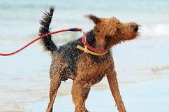 Airedale dog shaking water off from a swim in sea Royalty Free Stock Images