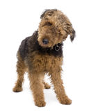Airedale in front of a white background Royalty Free Stock Photos