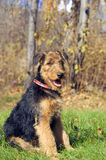 Airedale puppy Close-up Stock Image