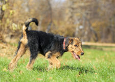 Airedale puppy Close-up Stock Images