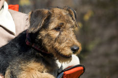 Airedale puppy Close-up Royalty Free Stock Images