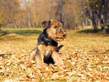 Airedale puppy Close-up. In autumn park royalty free stock photo