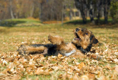 Airedale puppy Close-up Stock Photography