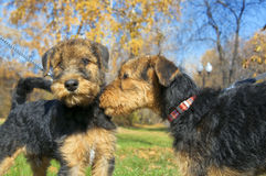 Airedale puppy Close-up Royalty Free Stock Image