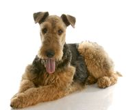Free Airedale Terrier Royalty Free Stock Photo - 13986905