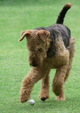 Airedale Terrier. Chasing golf ball stock photos