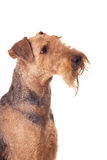 Airedale Terrier. Dog  looking up on the white background Royalty Free Stock Photos