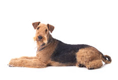 Airedale Terrier. Laying dog Airedale Terrier looking up on the white background royalty free stock photos