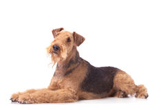 Airedale Terrier. Laying dog Airedale Terrier looking up on the white background royalty free stock photo