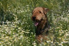 Airedale-Terrier Lizenzfreie Stockfotografie